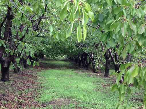 cerejeiras 2012-11
