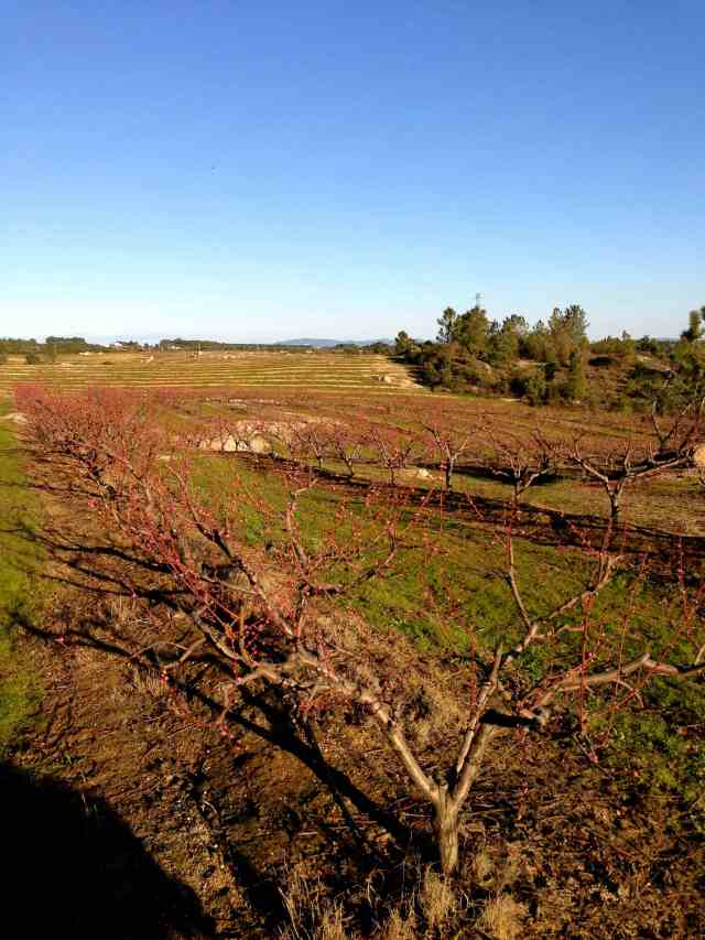 Nectarine orchard red