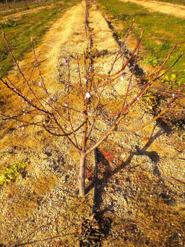 pessegueiros floridos 2013-02-13