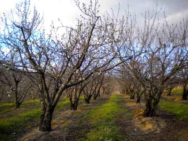 cerejeiraprimeirafloracao