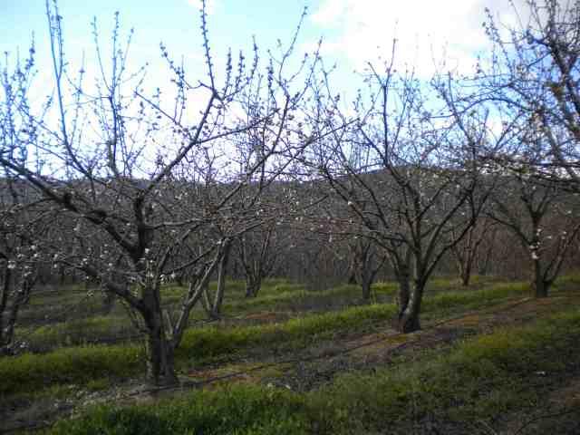 cerejeiraprimeirafloracao2