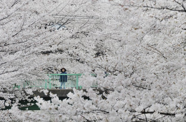 Hanami-sakura