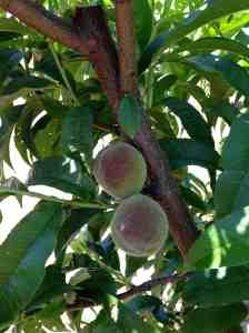 Peaches2 May