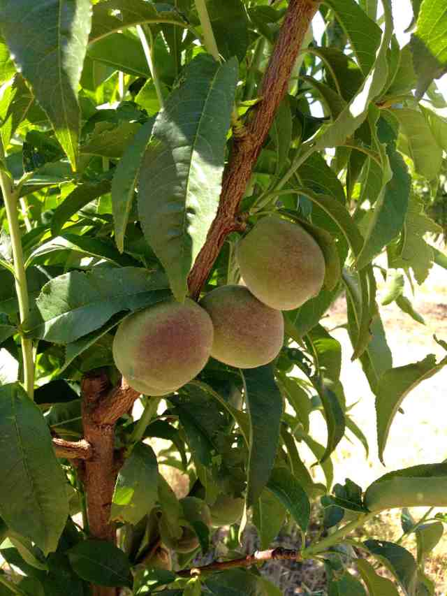 Peaches3 May