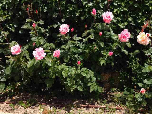 Roseiras28Maio1