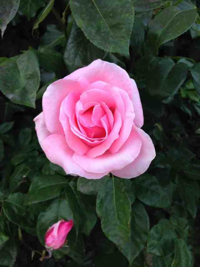 Rosa-june2