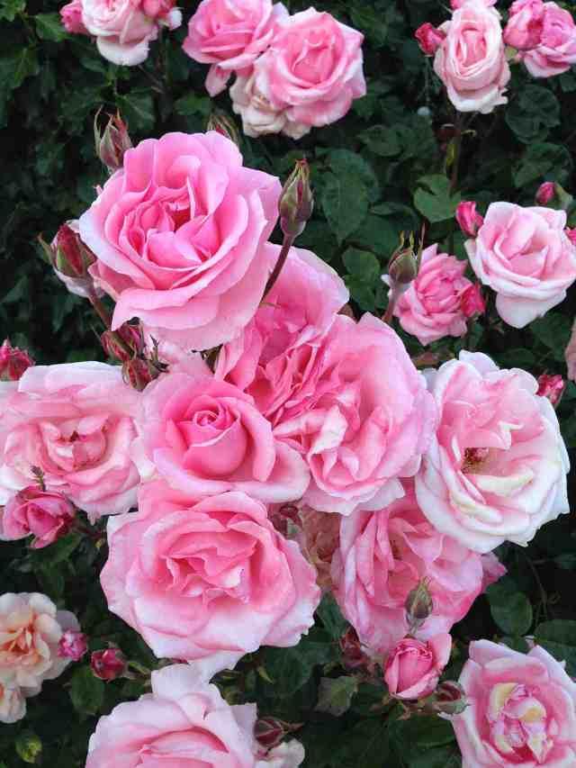 Rosas-june2