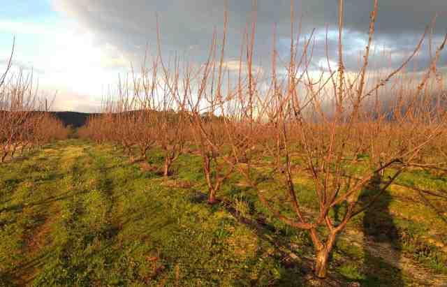 Cerejeiras fim de tarde