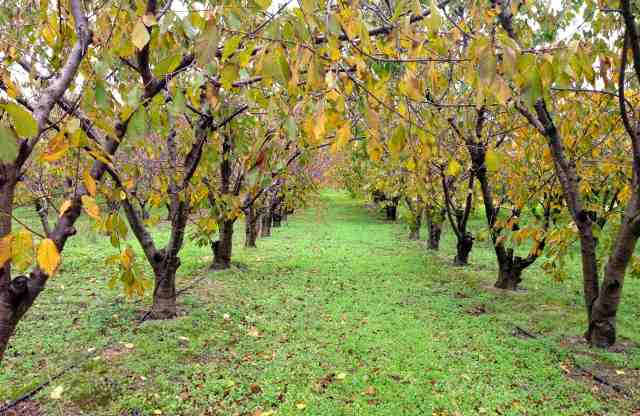 Cherry Orchard autumn