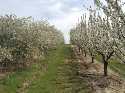 Ginjeiras e cerejeiras