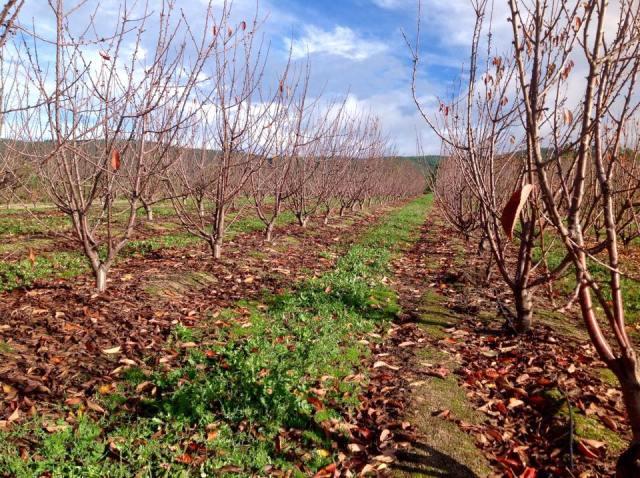 Cerejeiras queda da folha novembro 14