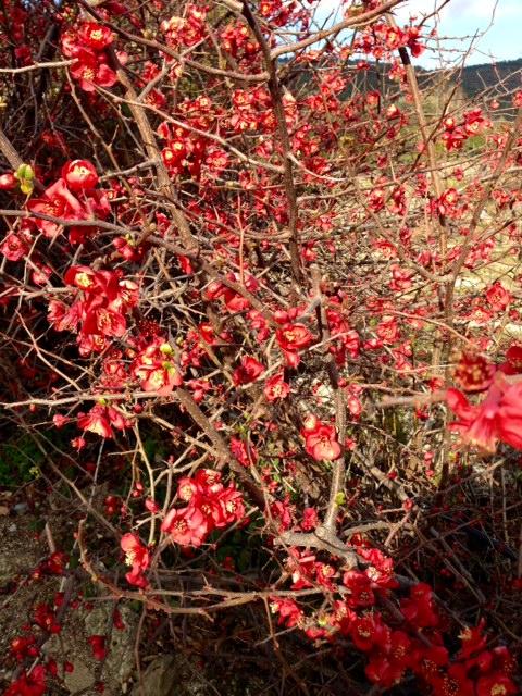 Cerejeira japonica 1