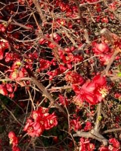 Cerejeira japonica 2