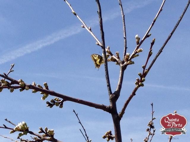 Cerejeiras borboleta 12Mar2015 1 logo