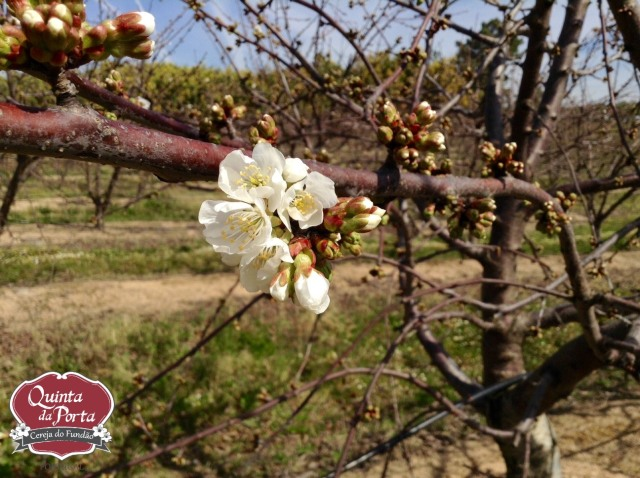 Cerejeiras earlise primeiras flores 12Mar2015 1 logo