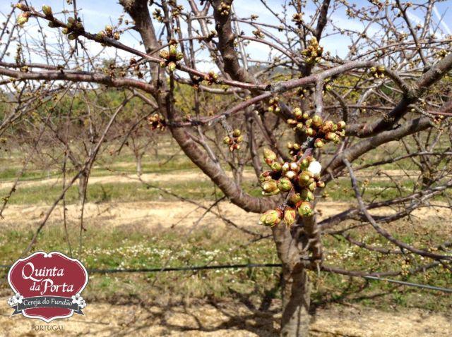 Cerejeiras earlise primeiras flores 12Mar2015 2 logo