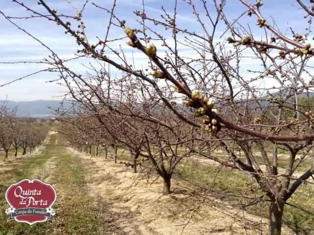 Cerejeiras earlise primeiras flores 12Mar2015 3 logo