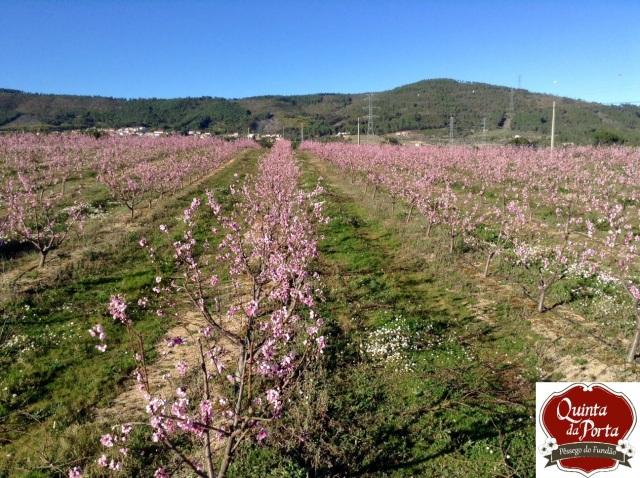 Pessegueiros em flor 4 Março-a