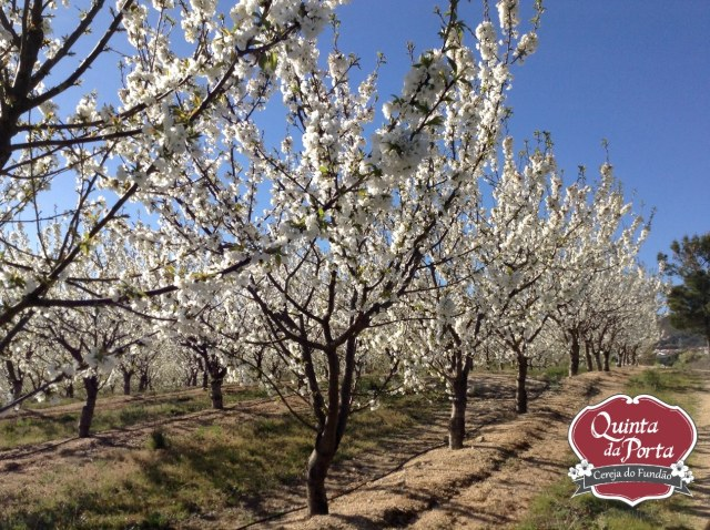 Cerejeiras em flor burlats poço 15-03-28 1 logo