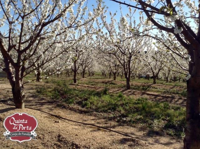 Cerejeiras em flor burlats poço 15-03-28 2 logo