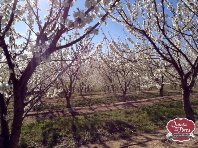 Cerejeiras em flor burlats poço 15-03-28 3 logo