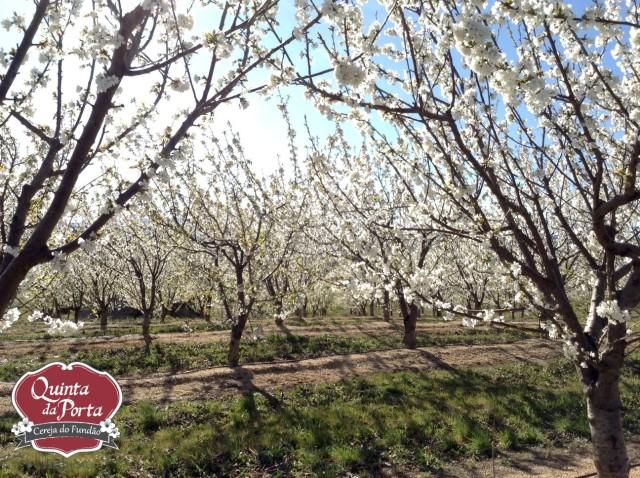 Cerejeiras em flor burlats poço 15-03-28 4 logo