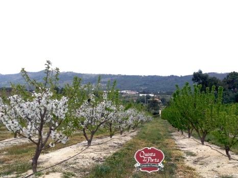 Cerejeiras em flor e vingamento 15-04-05 logo