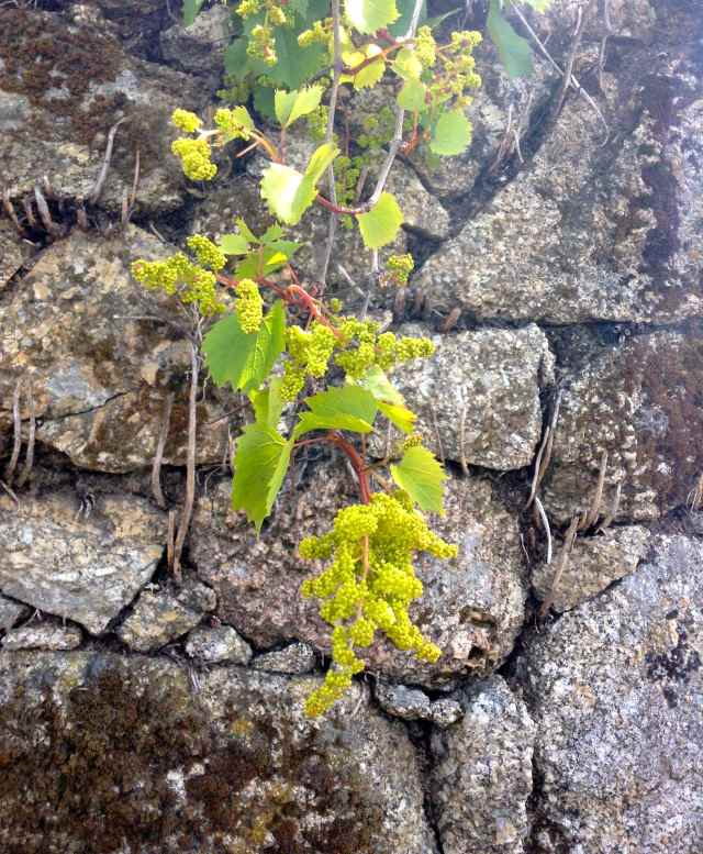 caho uvas Maio 2015